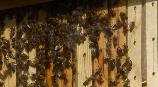 Streuobstwiese mit fleißigen Bienen